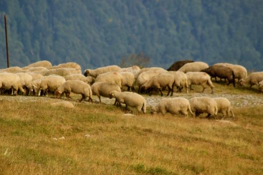 Mountain sheep.